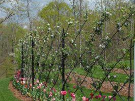 Apple tree espalier