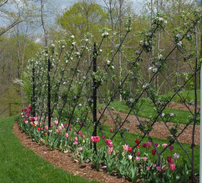 espalier fruit trees more fruit in less space gardensall. Black Bedroom Furniture Sets. Home Design Ideas