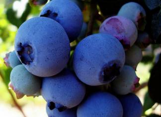 growing blueberries,