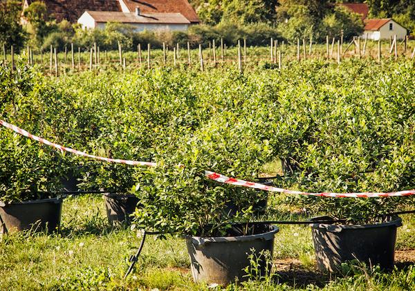 Commercial blueberry plants - #EdibleLandscape #EdibleHedges
