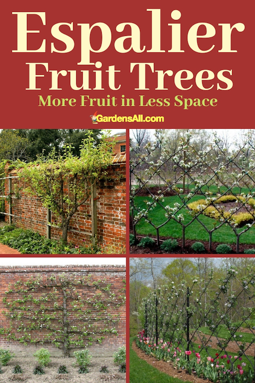 Many people would love to grow fruit trees, but for the space it takes and the warmer climate and higher growing zones needed. Even dwarf fruit trees can take up a lot of space in smaller yards. In such cases, espalier fruit trees may be the way to go. #Growing #Garden #FruitTrees #Fence #GardenIdeas #DIY #Espalier #EspalierTrees
