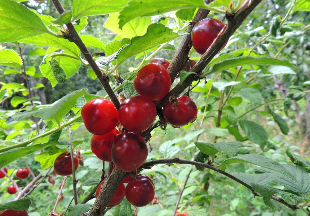 Nanking Cherries make good edible hedges. #EdibleHedges #FruitTreeShrubs #EdibleLandscape