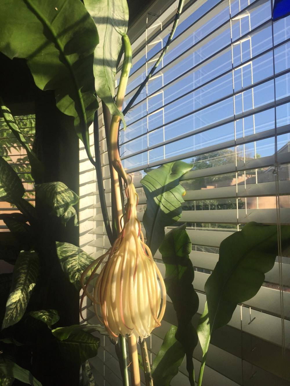 cereus finished blooming