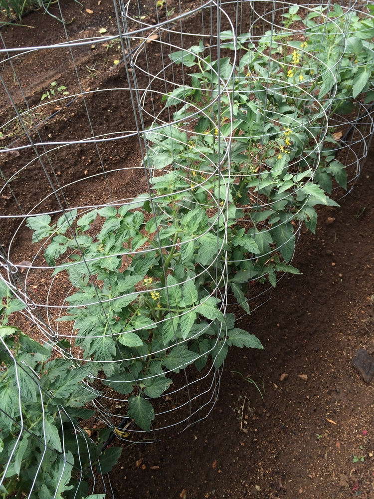 If you're a beginning gardener new to growing tomatoes and not familiar with these terms, it can be confusing. To help you with that we've linked a helpful video by Burpee in the reference section at the end of this article. The video walks you through the characteristics of each and helps you determine whether you want to grow one or both types of tomatoes.