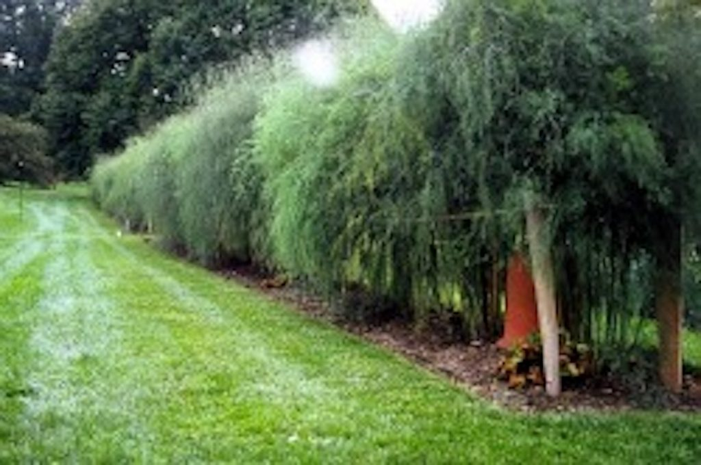 Asparagus plants can make an edible hedge if given adequate support. #EdibleHedge #EdibleLandscape #GrowingAsparagus