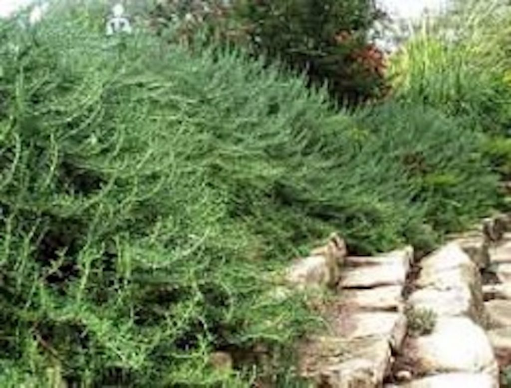 Rosemary hedge for edible, herbal landscaping - #EdibleHedges #EdibleLandscape