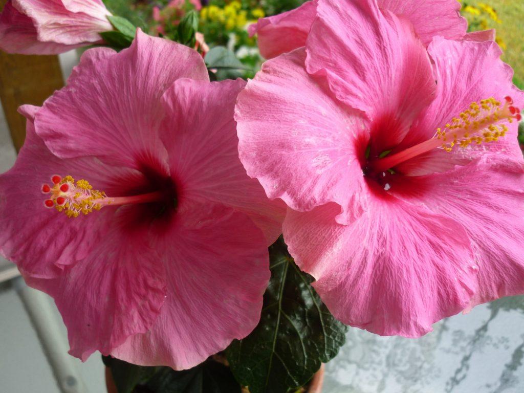 hibiscus flower image