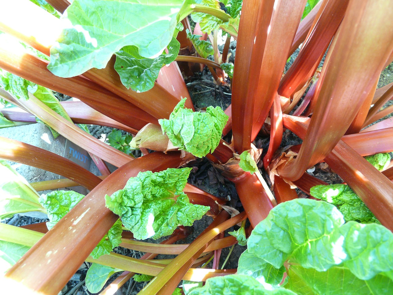 growing rhubarb plant