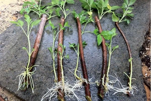 How to Root Elderberry Cuttings. #PlantPropagation #RootingHormone #PlantClippings #ElderberryPlant
