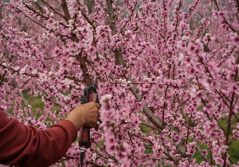 Pruning cherry tree and Plant Propagation for Free Plants. #PlantPropagation #FreePlants #Pruning #GrowthHormones #RootingHormonesForPlants