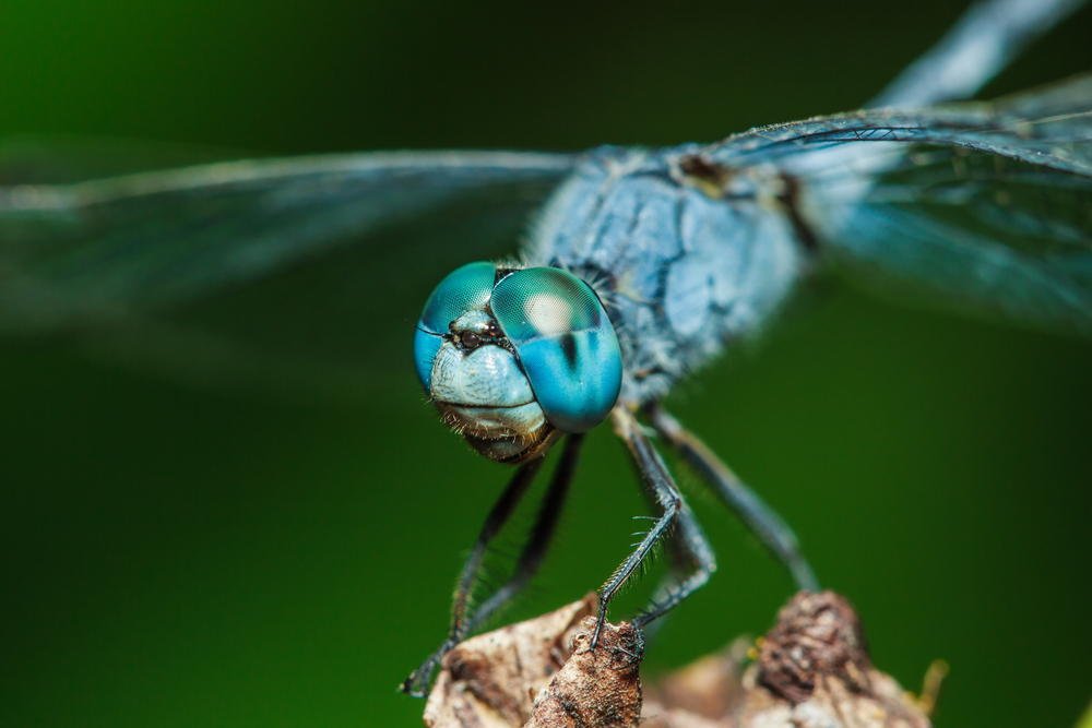 Dragonflies are beneficial for mosquito control. #Dragonfly #NaturalMosquitoControl #InsectsThatEatMosquitos