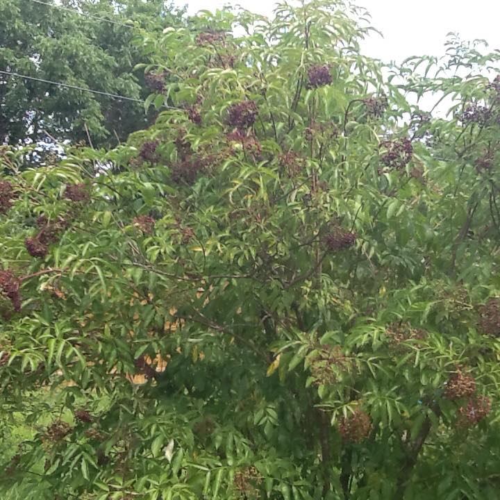 elderberry bush with berries