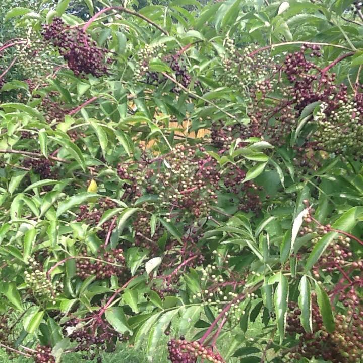 Ripe sambucus canadensis elderberries