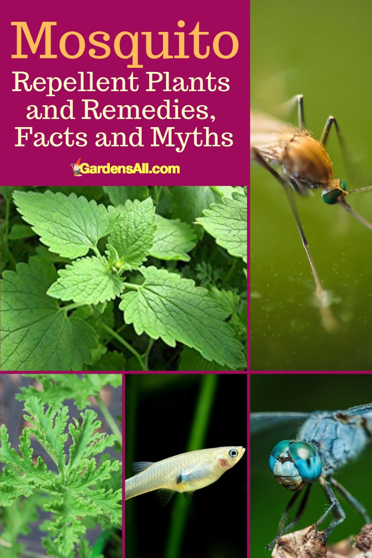 What works and what doesn't when it comes to those pesky flying insects and natural mosquito repellent and mosquito repellent plants? #NaturalRemedies #BeneficialPlants #MosquitoRepellentPlants #MosquitoFactsMyths #MosquitoRepellent #NaturalMosquitoRepellent #GardenIdeas