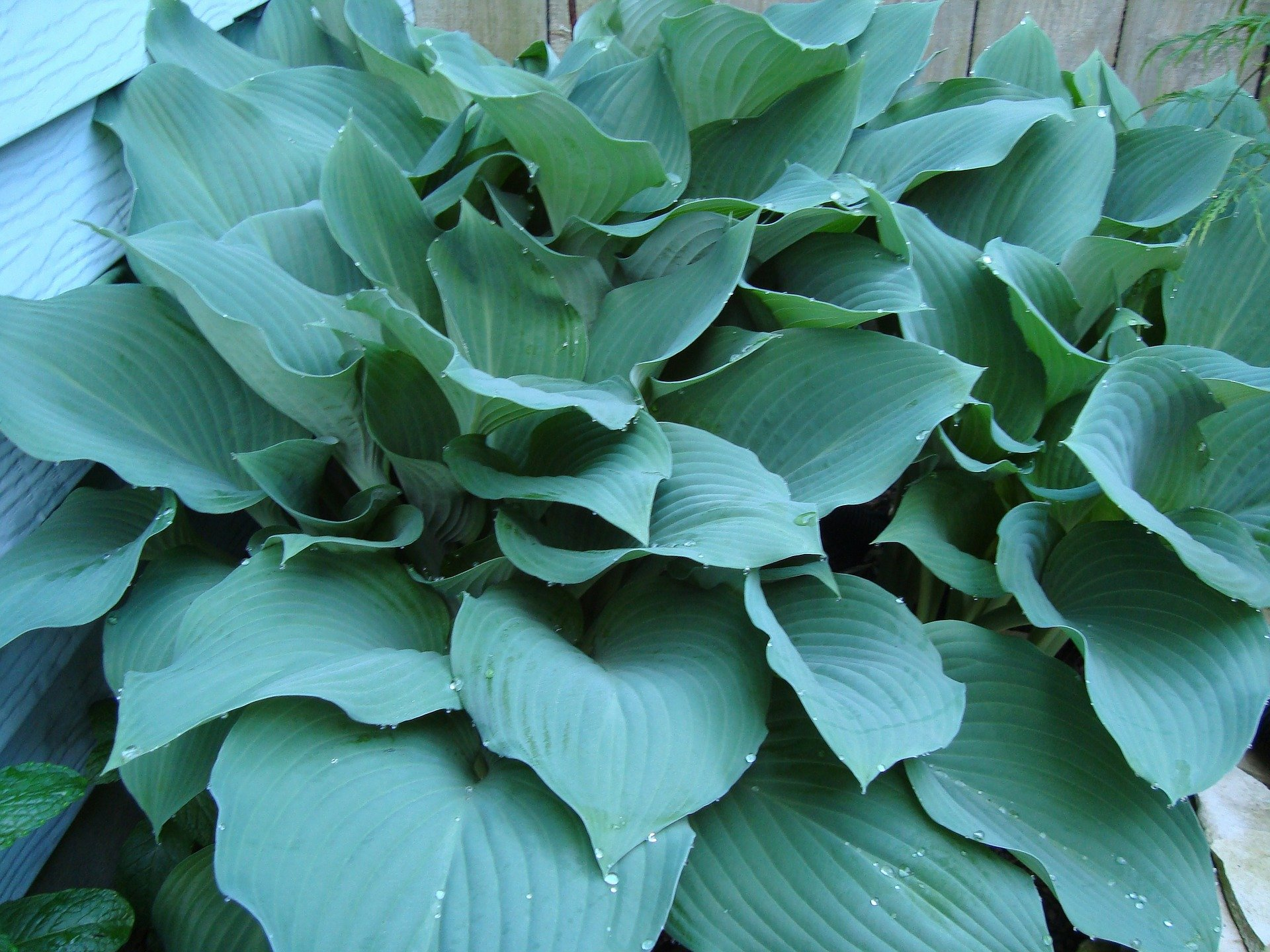 Blue Hostas A Por Perennial Gardensall