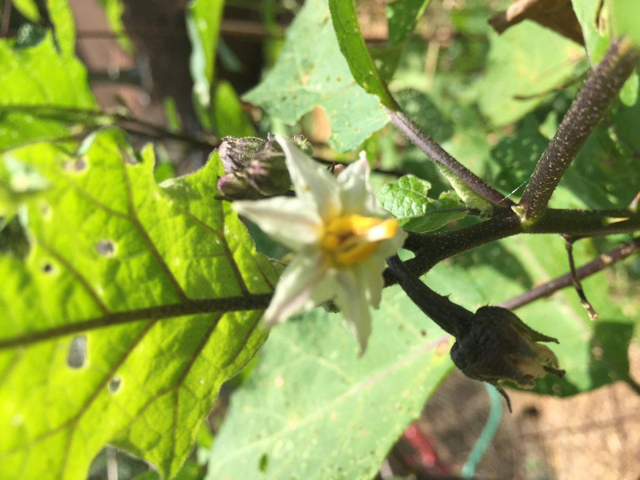 pumpkin on a stick, solanum aethiopicum