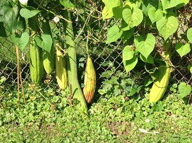 luffa, loofah plant