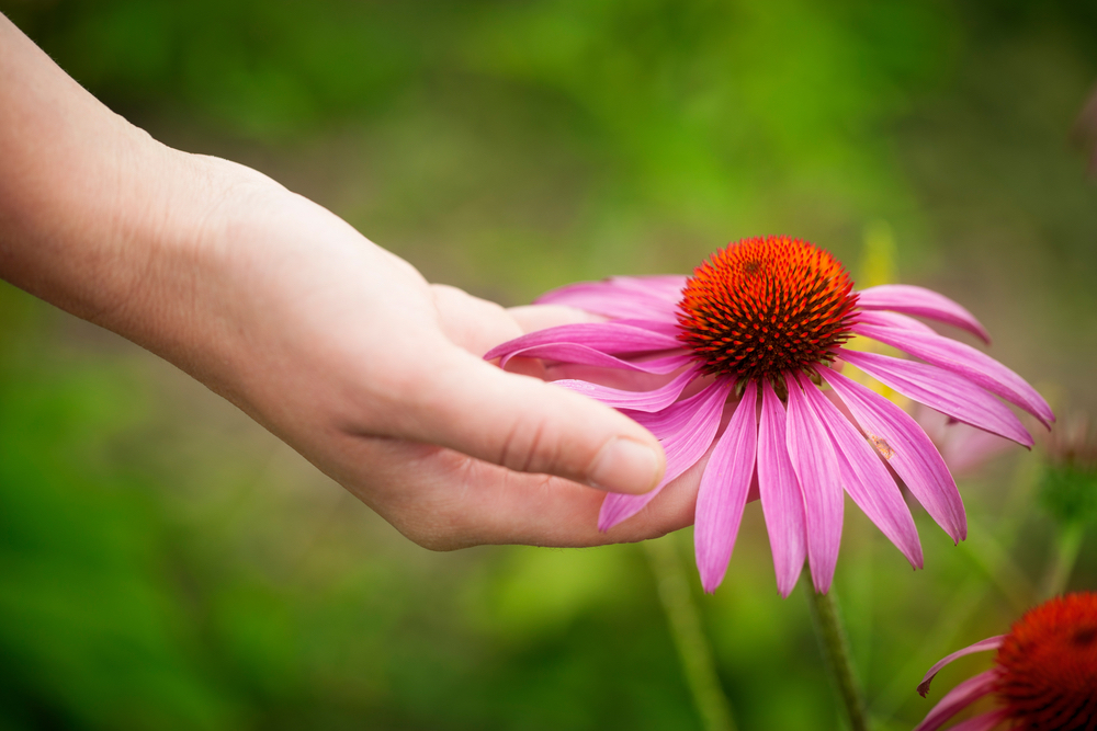 Many homegrown remedies include echinacea. Long used to boost immunity, this beneficial plant also ads floral beauty to any garden. #HomegrownRemedies #HerbalRemedies #HealingPlants #MedicinalFlowers #Echinacea #BoostImmunity #AntibacterialPlants