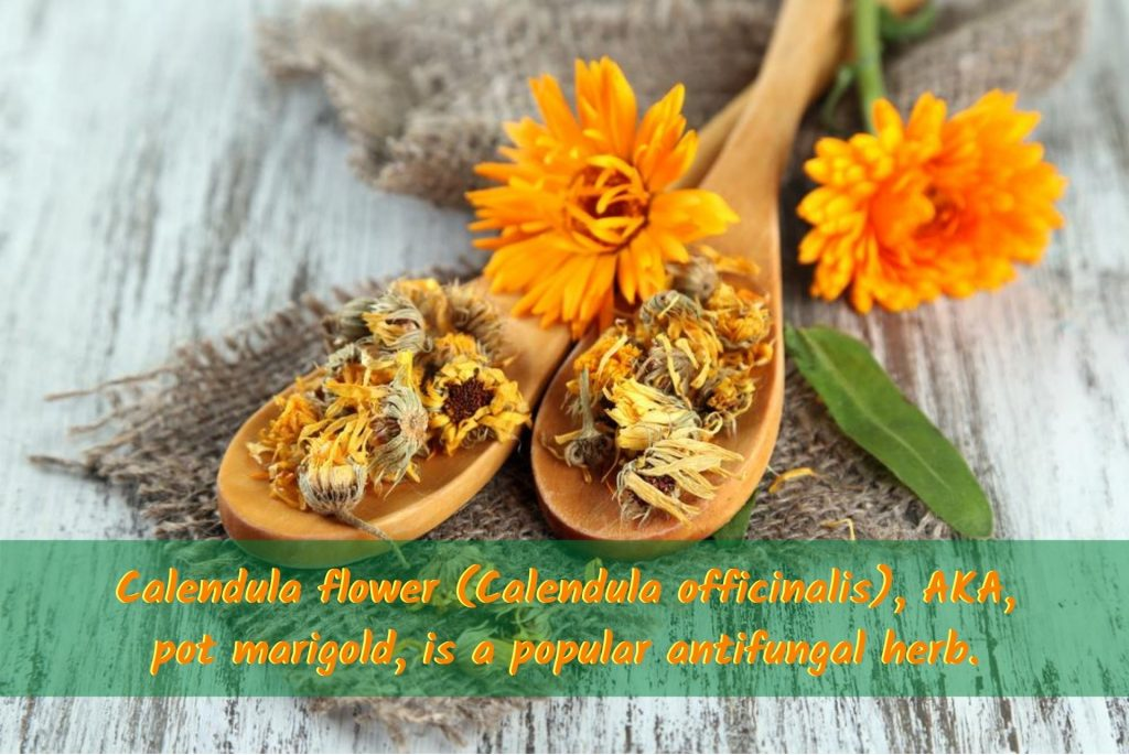 Calendula flower (Calendula officinalis), AKA, pot marigold, is a popular favorite amongst antifungal herbs. #AntifungalHerbs #MedicinalHerbs #Candida #Antifungal #Calendula #CandidaIsFungus #NaturalRemediesCandida #CandidaHerbs