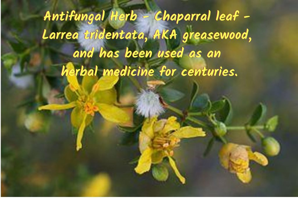 Antifungal herb - Chaparral leaf - Larrea tridentata, AKA greasewood, and has been used as an herbal medicine for centuries. #AntifungalHerbs #MedicinalHerbs #AntifungalPlants #Candida #Antifungal  #CandidaIsFungus