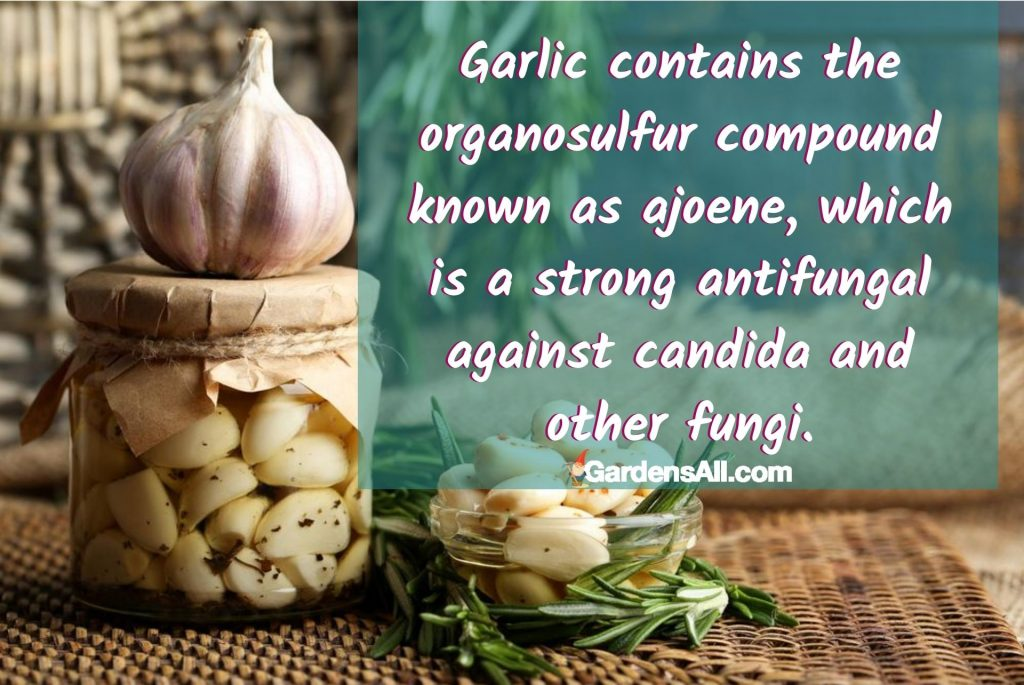 Garlic is well known for numerous health benefits, such as its ability to drive down inflammation, boost the immune system, and fight fungal infections. #AntifungalHerbs #MedicinalHerbs #AntifungalFoods #Candida #Antifungal ##GarlicAntifungal #CandidaIsFungus