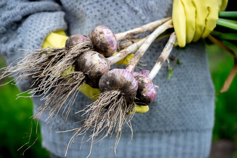 Garlic for Cold and Flu, immunity boosting. Nature's medicine. #GarlicForHealth #Elderberry #BestForImmunity #NaturalRemedies #HerbsForColdAndFlu #HerbalRemedies #NaturalHealing #PreventiveMedicine