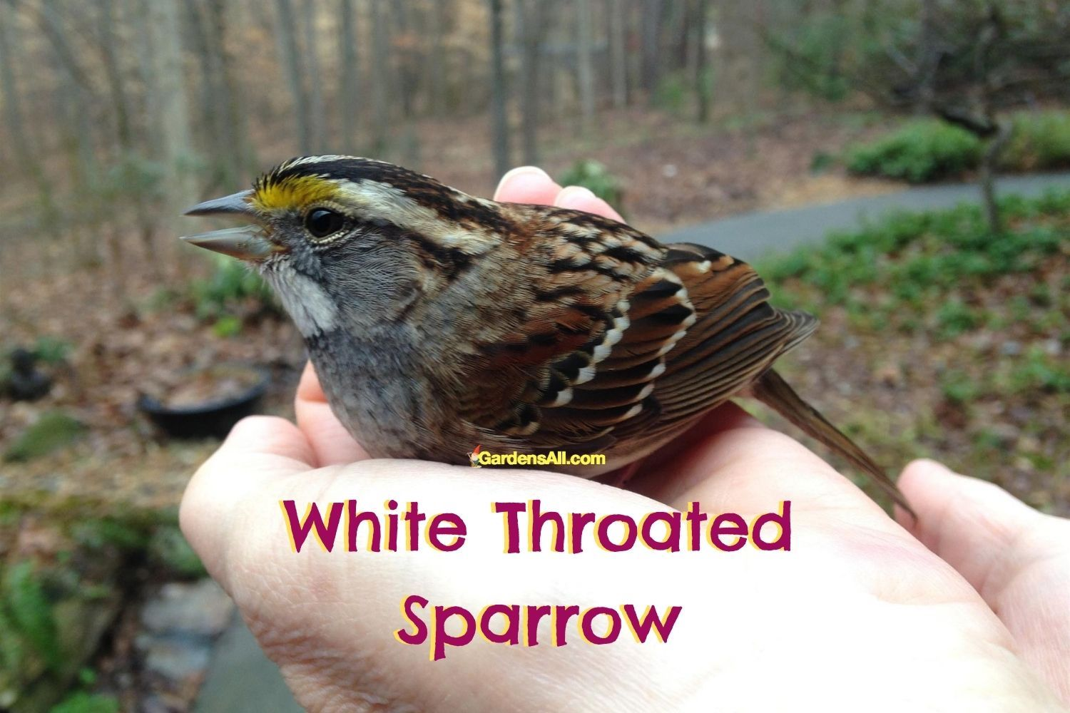 Rescued White Throated Sparrow bird hit window - image by GardensAll