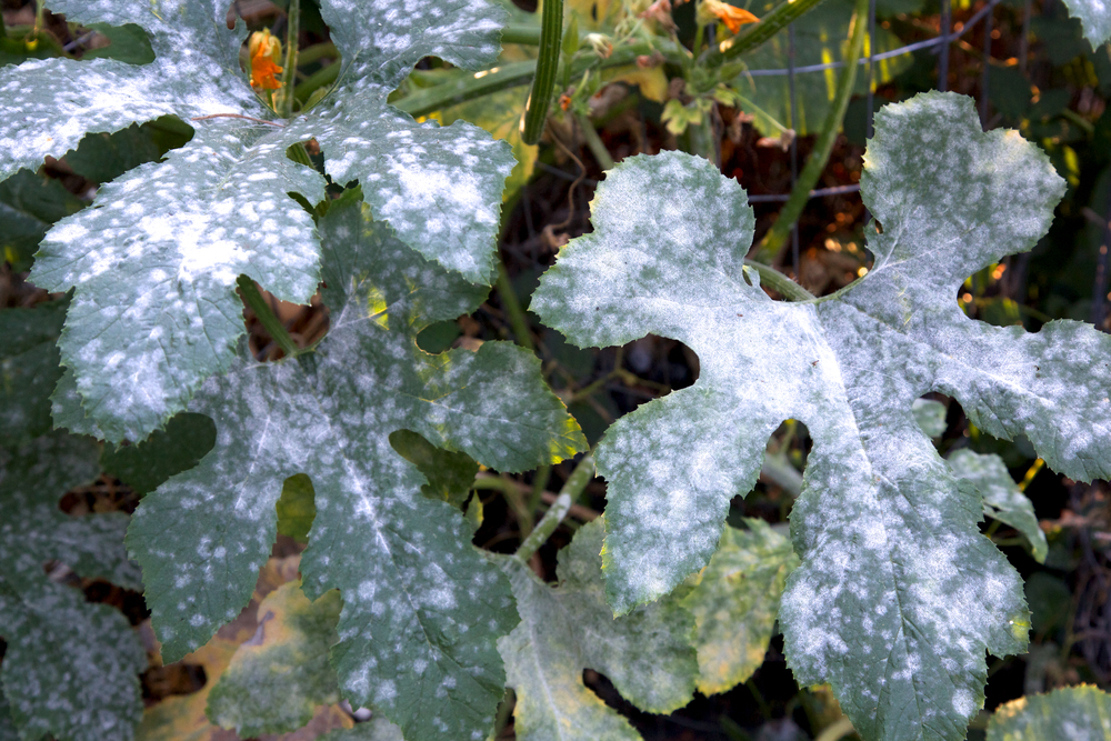 Organic Remedies To Treat Powdery Mildew Includes Video And Recipes