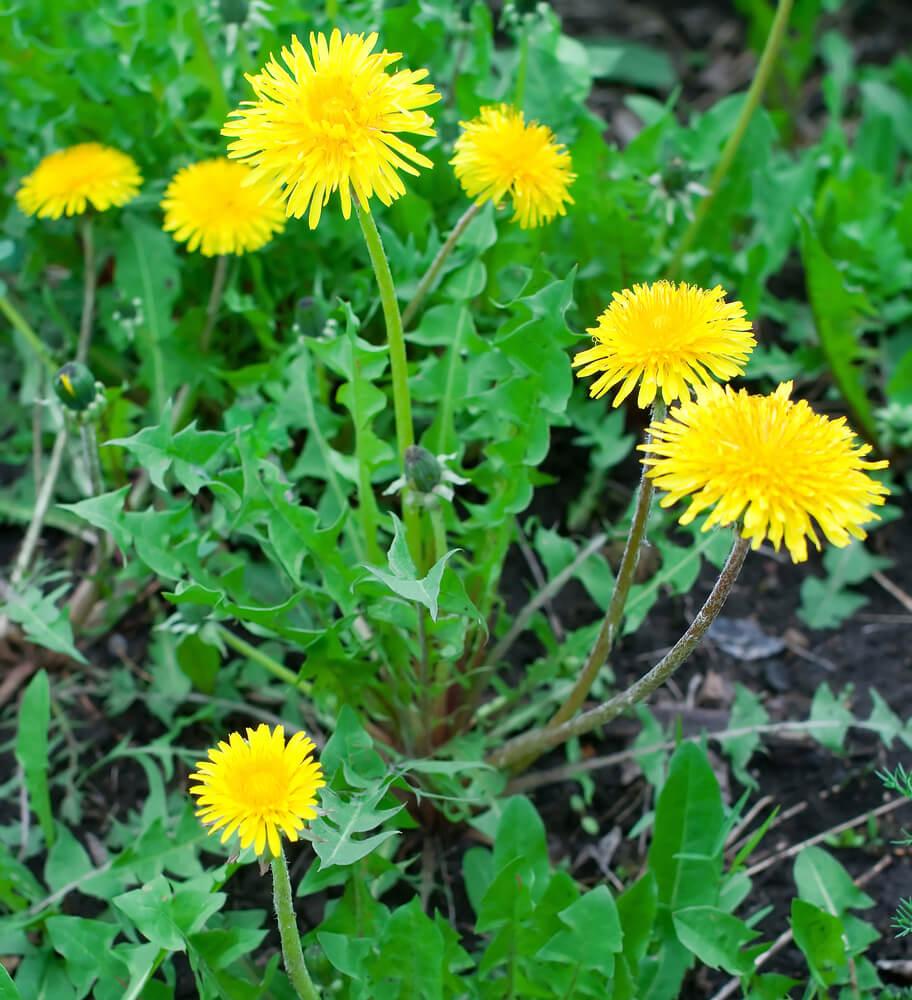 Dandelion for Food, Tea, Wine and Health   GardensAll