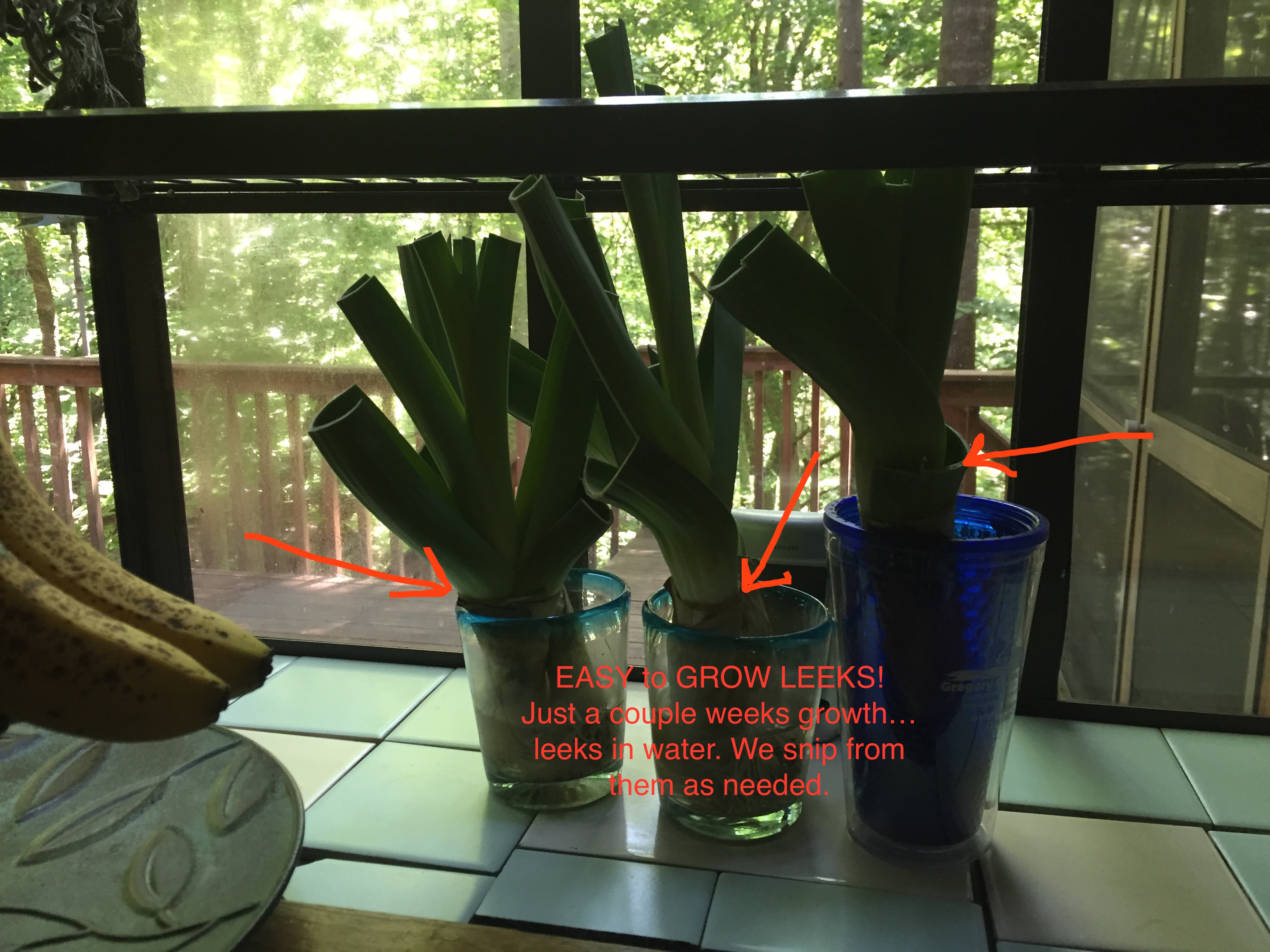 leeks grow fast, regrow leeks in water