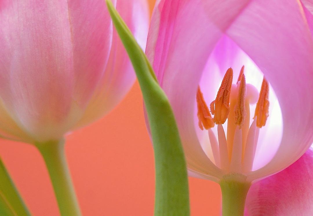 garden quotes, tulips