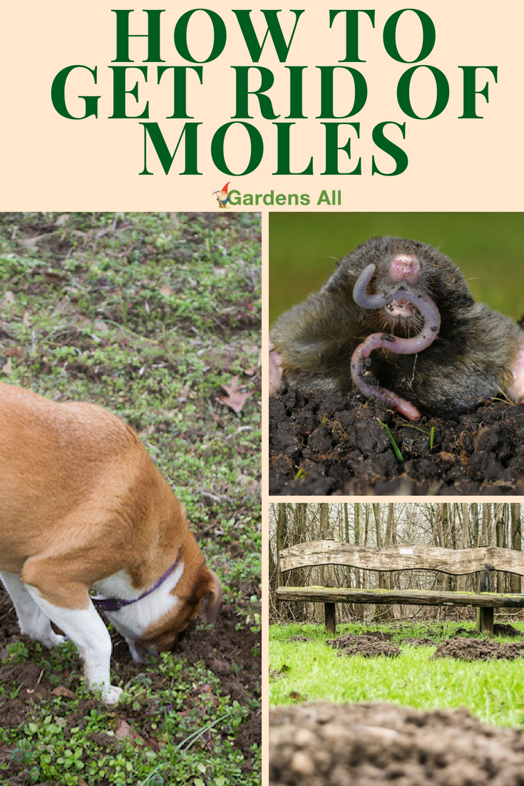 If you've had your garden invaded and plants destroyed by moles like we have, you're now on a mission to learn how to get rid of moles. Mole problems are a serious threat to your yard and garden. And... moles tend to prefer the nicest yards. #garden #pests #pestcontrol #gardening #moles