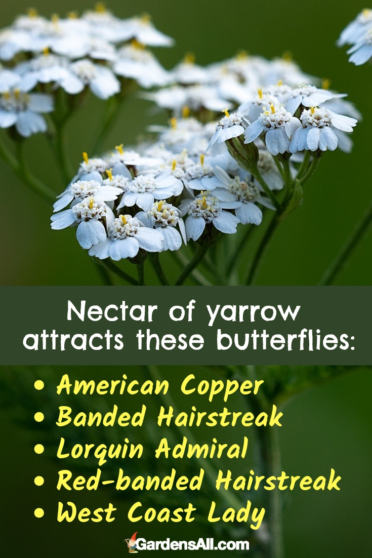 The relatively flat shape of yarrow flowers and large clusters of vibrant blossoms make yarrow one of the best flowers to attract butterflies. #Quotes #Butterfly #Garden #Gardening #FlowerGardening #FlowerGardeningIdeas #Yarrow #SnapdragonFlower #PerennialsFlowers #PerennialsWithFlowers #Perennials #Flowers