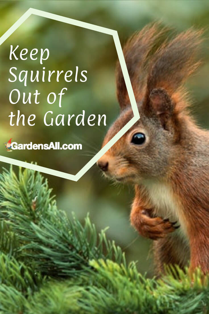 You bet they do! We love animals, and watching the squirrels interact and play in our woodland yard is enjoyable. But... we hate that they eat our tomatoes—and often a little bit of many of them—so we've been on a pursuit for how to keep squirrels out of the garden.