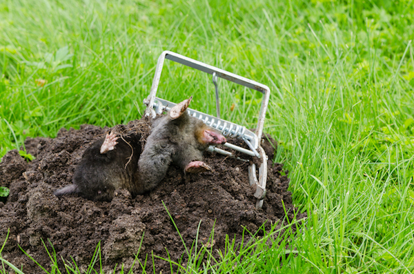 how to get rid of moles fast