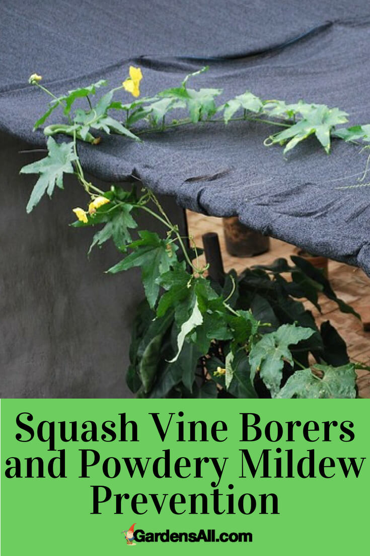 One of our biggest losses last year was that of our squash crops. We got hit double by squash vine borers and powdery mildew. It was a one-two punch, especially to our summer squash and pumpkins. This year, we are strategizing how to fend off these attackers. And here is a list of our preventative measures.