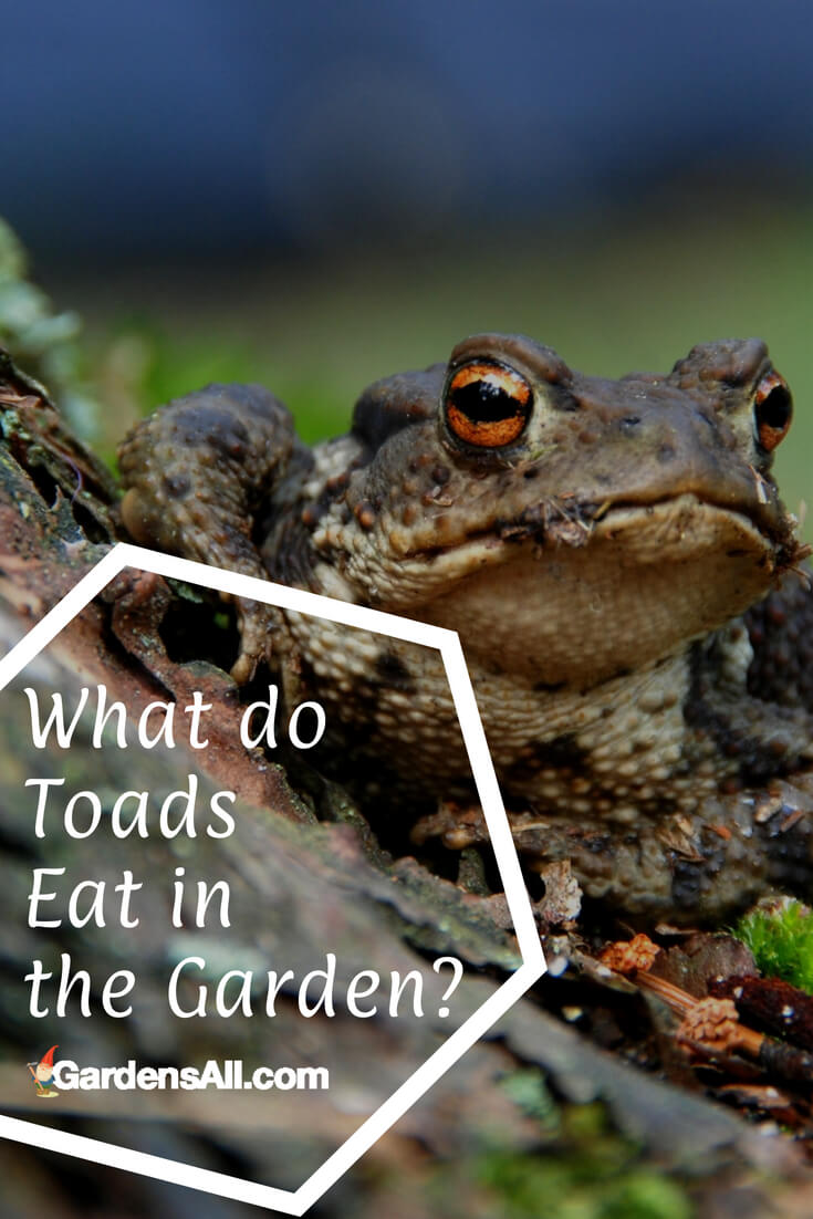 Toads and frogs are both carnivores, that eat insects, worms and other types of live prey. Baby toads eat the tiniest version of insects, such as gnats flies and ants.