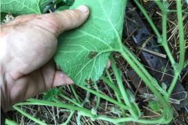 Squash bug eggs on squash leaf
