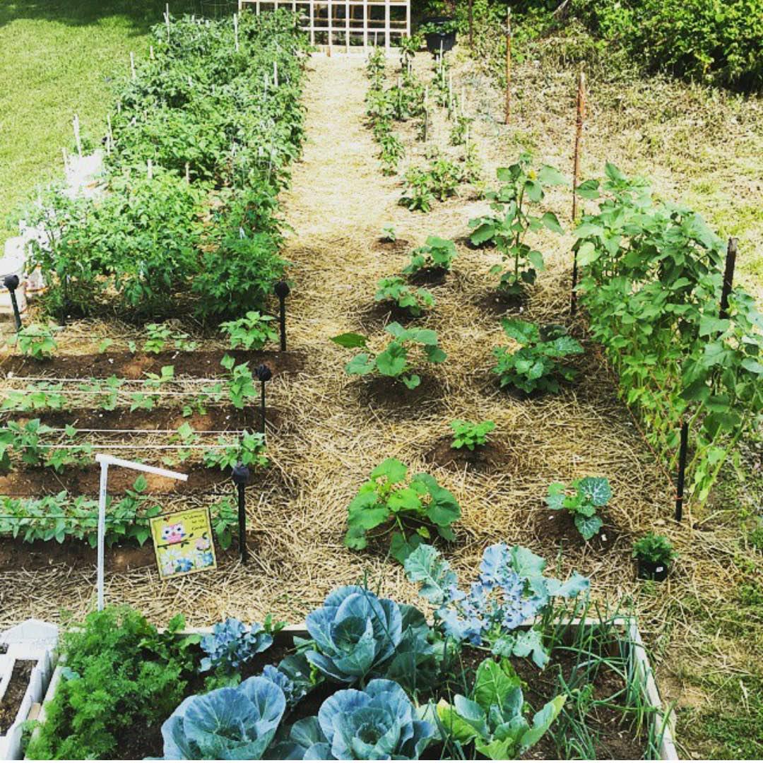Garden-cabbage, peppers