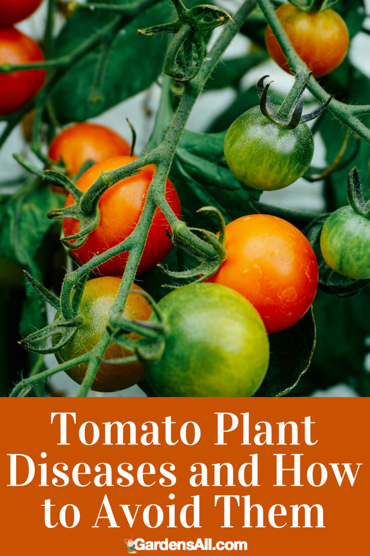 """We've never met a gardener who didn't grow tomatoes. There is nothing like picking your own vine-ripened tomatoes to give you a sense of accomplishment as a gardener. Bursting with flavor and available in hundreds of hybrid and heirloom tomato varieties, this extremely versatilefruit is the most favorite """"vegetable"""" to grow, even on balconies and in pots. However, tomato plant diseasescan be a problem."""