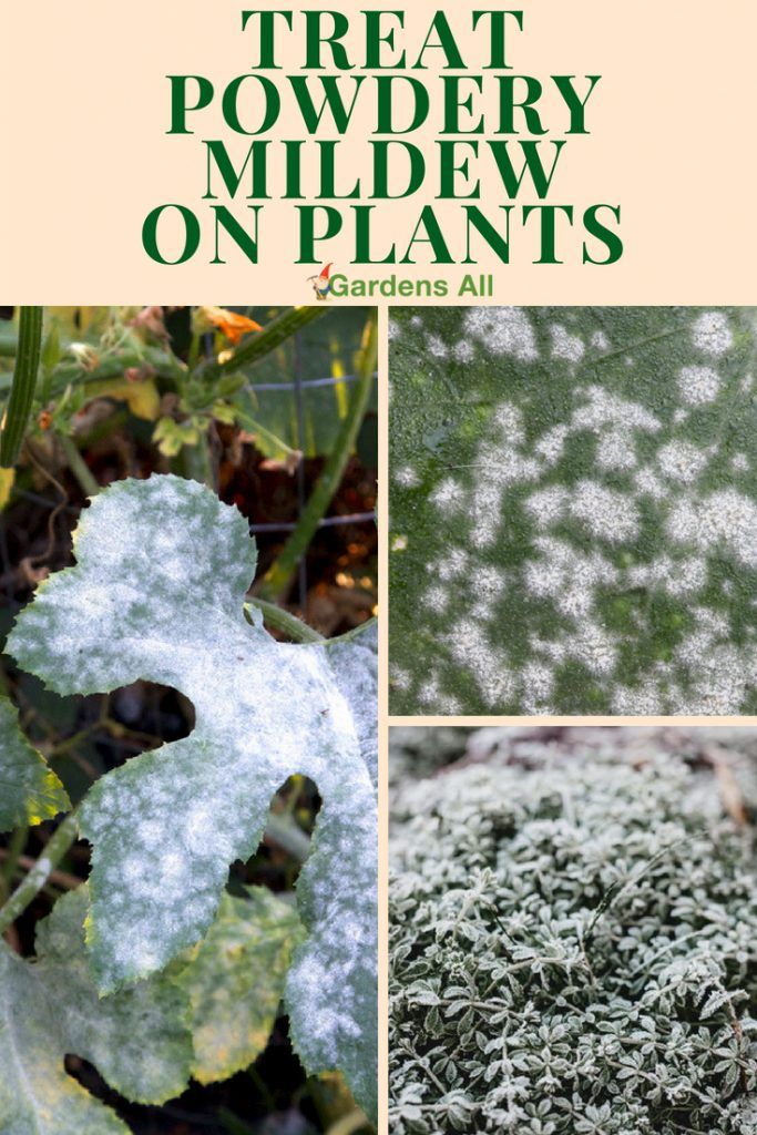 Yuk! What's that white stuff on the leaves? If your plants have been attacked by powdery mildew, you know the frustration and challenge of this garden nemesis. #HowToTreatPowderyMildew #HowToGetRidOfPowderyMildew #WhitePowderOnPlants #NaturalFungicide #PowderyMildew #WhitePowderOnPlants #BakingSodaRecipe