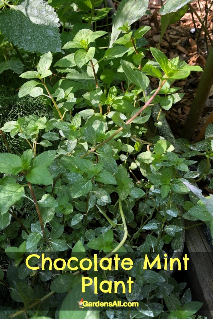 Chocolate mint is a variation of the hybrid peppermint. Why do we call it chocolate mint? The name stems from the chocolate aroma and flavor of its leaves, reminiscent of chocolate covered mint patties. #NaturalRemedies #MedicinalHerbs #GrowingMint #NaturalMosquitoRepellent #Catnip #MedicinalHerbsAndTheirUses #Teas #Indoors #Outdoors #Herbs #PestControl