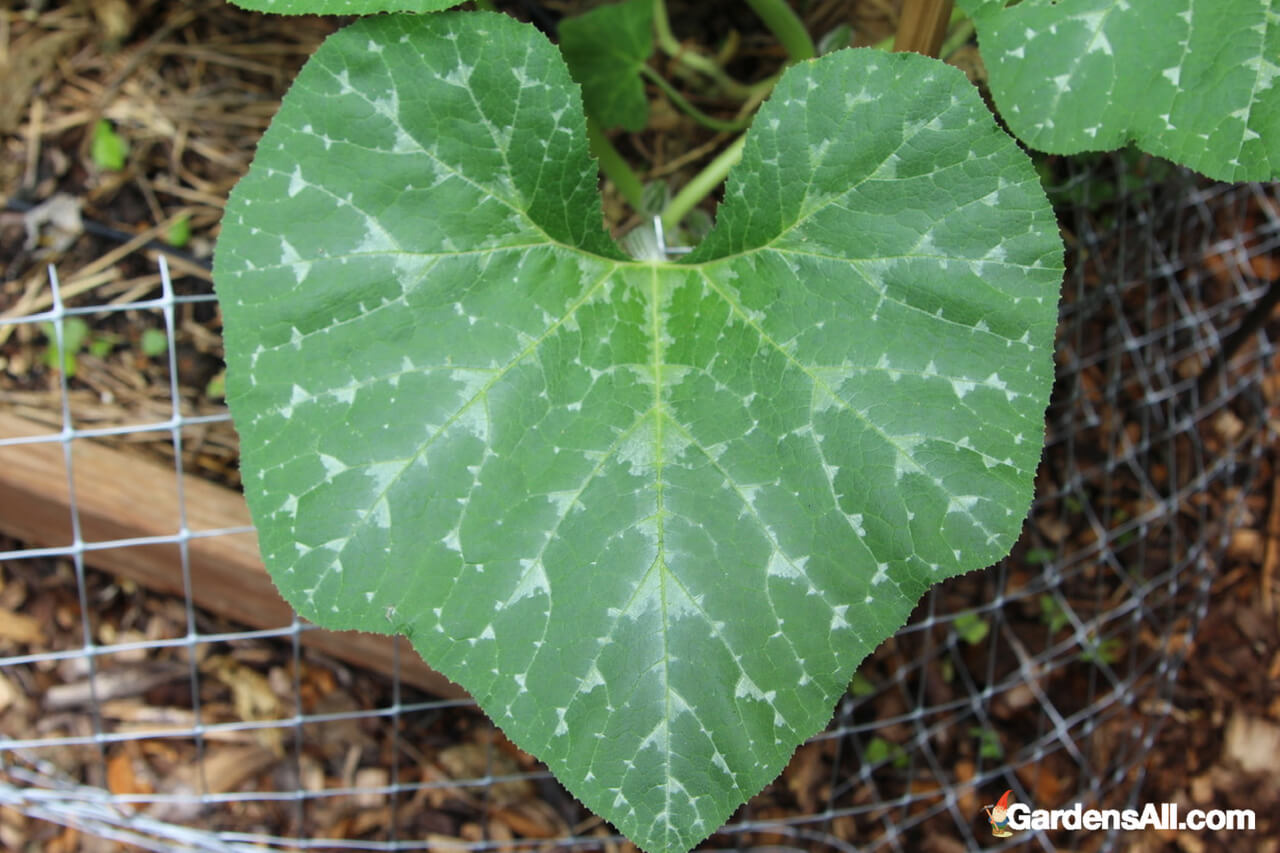 Garden Newsletter, Squash, Squash pruning, Winter Squash