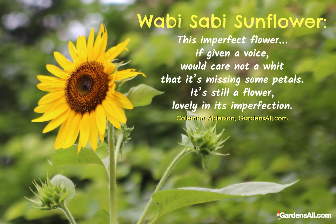Wabi Sabi Sunflower: This imperfect flower... if given a voice, would care not a whit that it's missing some petals. It's still a flower, lovely in its imperfection. ~Coleman Alderson, GardensAll.com
