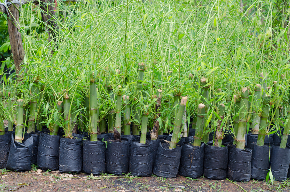 bamboo plants seedlings