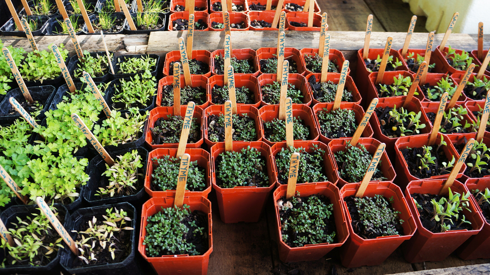 herb garden herb seedlings