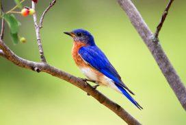 Eastern Bluebird eats mosquitoes