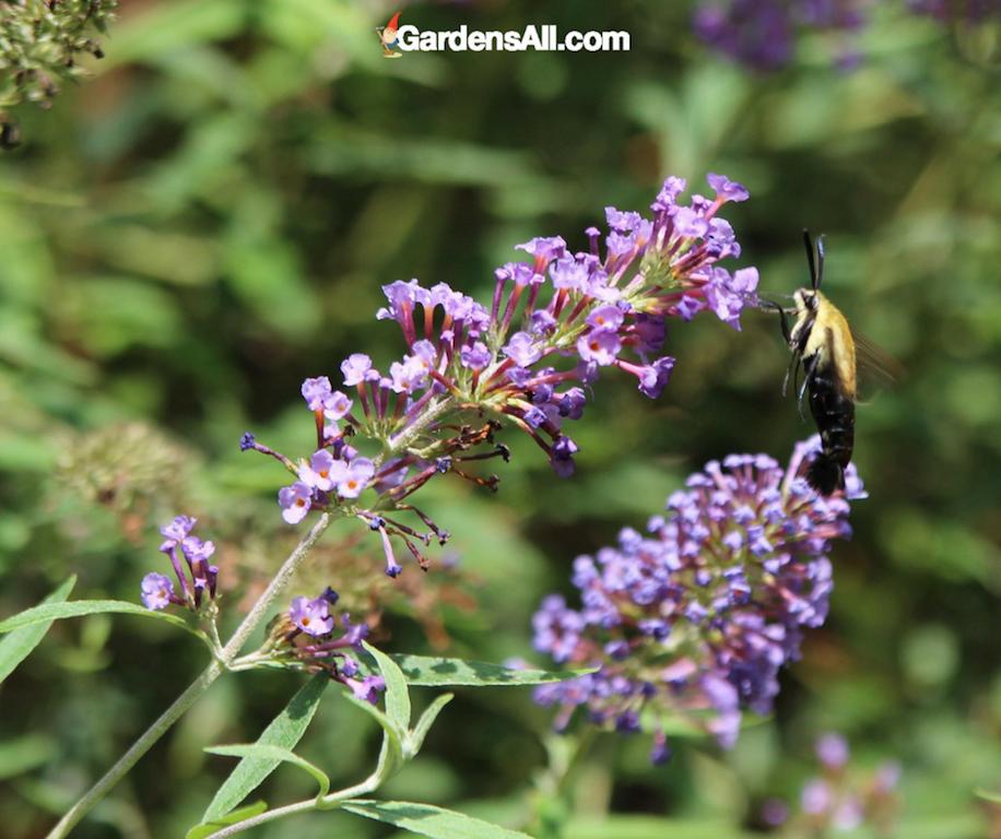 hummingbird moth, butterfly plants