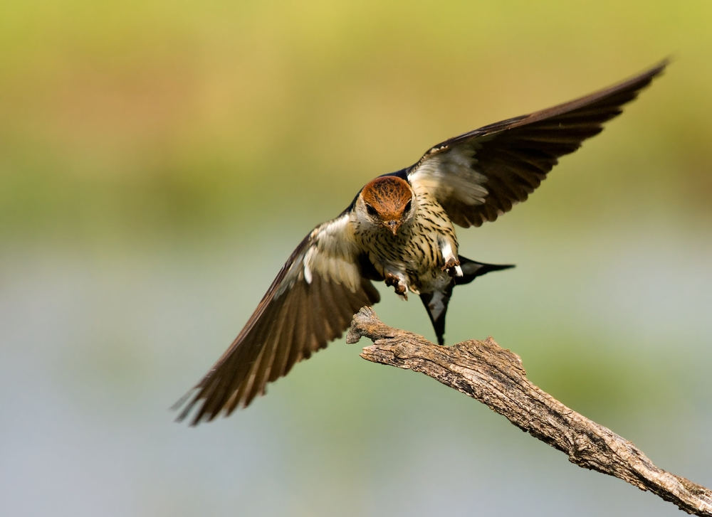 Greater striped swallows eat mosquitoes