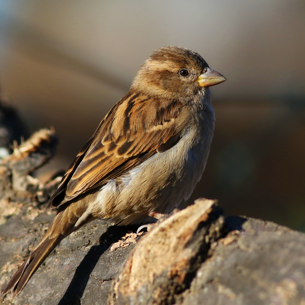 sparrows eat mosquitoes